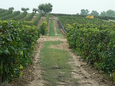 Torres vineyard