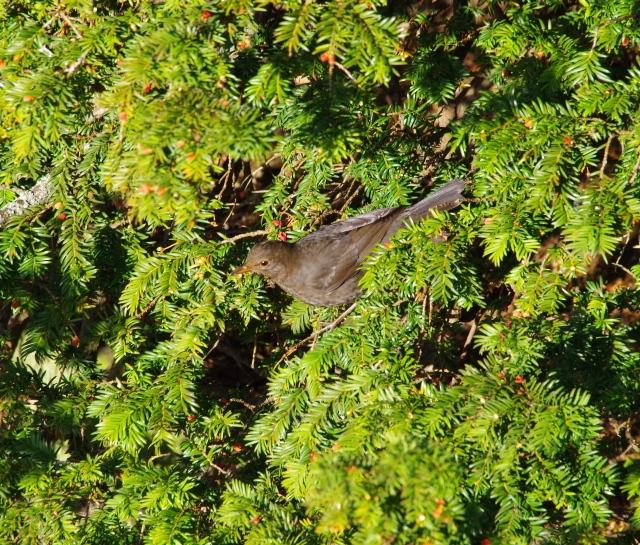 Blacckbird gorging itself on berries