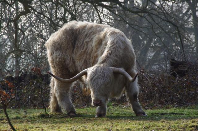 """Mean looking """"longhorn"""" cattle."""