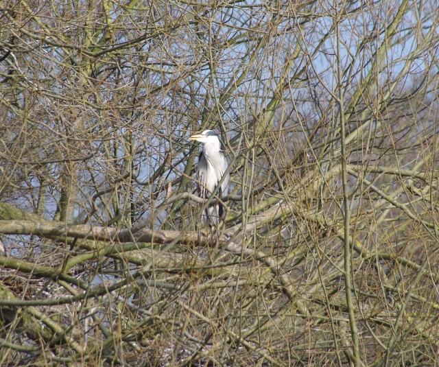 A breeding Heron.