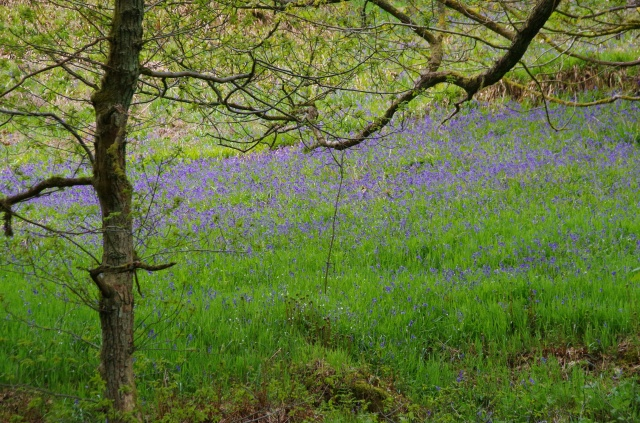 A swathe of bluebells