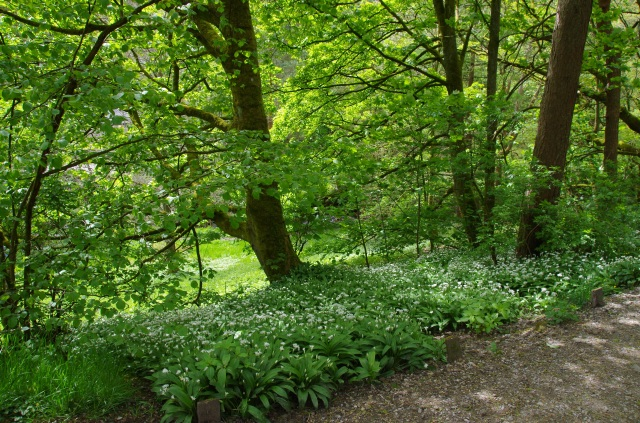 Wild garlic alongside the path