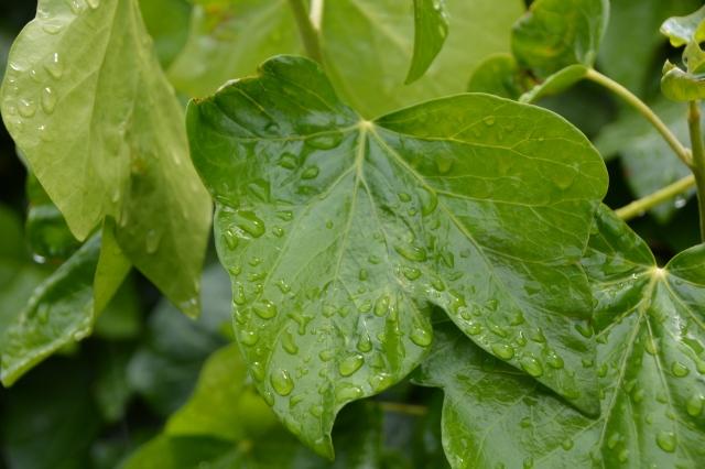 Rain on leaf...........