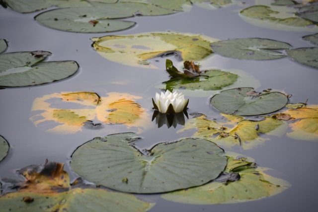 Water lily on a tranquil pond