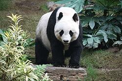 250px-Grosser_Panda.JPG